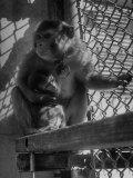 Monkeys Surviving of Bikini Atom Bomb Test  Held for Observation