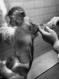 Monkey Being Administered the Salk Vaccine for Testing