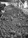 Men Sorting Cantaloupes before Packing into Crates