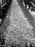 Wood Chips on Conveyor Belt after Passing Through Chipper and Heading for Next Stage at Paper Mill