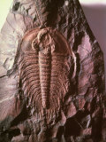 500 Million Yr Old Fossil of Hard-Shelled  Multilegged Trilobite