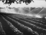 Sprinkler System in Tomato Field