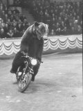 Extraordinarily Skillful Russian Performing Bear Driving a Motorcycle