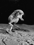Kangaroo Rat in Mid-Jump