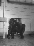 Mother Gorilla of Colo  Baby Gorilla  of Columbus  Ohio Zoo  1st to Survive Birth in Captivity