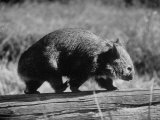 Wombat Walking on a Log