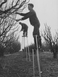 California Farmer Using Stilts for Picking Fruit