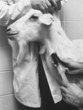Goat Being Used in Research Detection of Cancer of Colon at Mcgill University