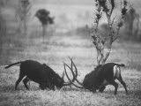 Two Male Giant Sable Antelopes in Combat on Luanda Game Reserve