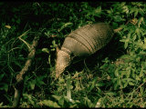 Armadillo on Ground in Amazonia