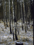 Birch Trees on the Road Between Inkutsk and Baikal