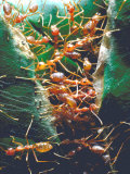Driver Ants: Group of Workers  Africa