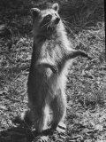 Racoon Standing on Hind Legs- Dry Leaves on Surrounding Ground - at Okefenokee Swamp