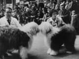 English Sheepdogs  During Cruft's Dog Show