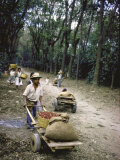 Coffee Workers Harvesting Beans
