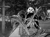 Winsome Panda Bear Eating Bamboo Leaves at the Brookfield Zoo