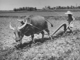 Farmer Plowing Field with Water Buffalo