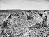 The Great Natal Sugar Cane Industry Is Made Up of a Work Force of Indians
