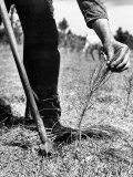 Man Planting Pine Tree Seedlings