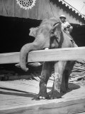 Trained Elephant Carrying Teak Beams around Lumber Yard
