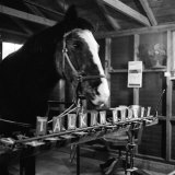 """Talking"" Horse Named Lady Wonder Who Uses a Giant ""Typewriter"" to Give Simple Answers"