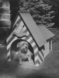Norwich Terrier Sitting in Fancy Dog House  Shaped and Designed Like Royal Guard's Post House