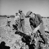 Mexican Farm Workers Harvesting Beets