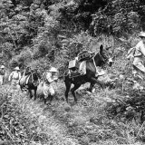 US Soldiers and Pack Mules Making their Way Up a Steep Incline in the Canal Zone