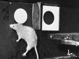 Rat Jumping Through the Left Window During the Experiment at Michigan University