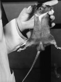 Rat in the Passive Stage  Hanging Limp from Dr Maier's Hand