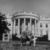 "President Truman's Dog  ""Feller"" on White House Lawn"