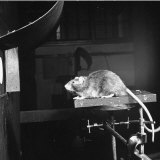 Dr Norman Raymond Frederick Maier  Conducting an Experiment with a Rat at the Michigan University