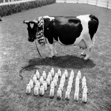Cow Posed with its Daily Output of Several Dozen Quarts of Milk