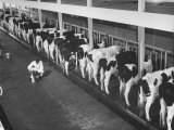 Interior View of Milking Barn  Where Milking Is Done with Automatic Machines