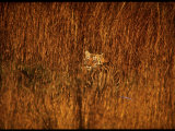 Tiger  Camouflaged Amidst Tall  Golden Grass  Setting Out at Dusk for Night of Hunting