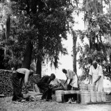 Work Crew from Turpentine Manufacturing Plant Harvesting Gum from Pine Trees