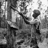 Man Harvesting Turpentine from Pine Tree