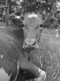 A Cow Lying in the Grass on a Dairy Farm