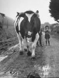Record-Breaking Cow Taking a Walk