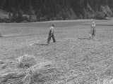 Farmer Raking His Field after Wheat Harvest
