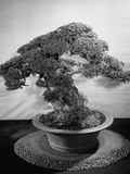 500-Year-Old Bonsai Pine Tree in Collection of Keibun Tanaka