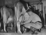 A Boy Milking a Cow