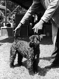 1938 Morris + Essex Dog Show Kerry Blue Terrier