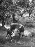 A Baby Cow and it's Mother Grazing in a Field on the Turner Ranch Near the River