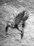 The Striped Tailed Scorpion Carrying Deadly Venom in His Tail