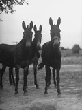 Three Mules on a Wheat Farm