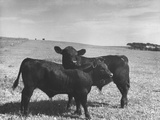 Aberdeen-Angus Bull Calves Standing in a Pasture