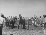 Men Working with Horses Caught During the Core Island Round Up