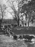 Farmers Rounding Up Bulls  Driving Them Through a Stream