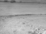 Farmer Using an Airplane to Chase a Coyote Out of His Fields